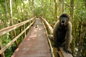 woolly monkey (Photo Akinori K - free use)xxxx